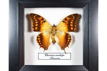 Панно из тропических бабочек